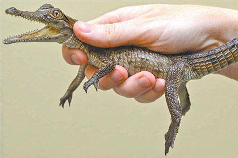 Австралийцы на Рождество дарили друг другу крокодилов