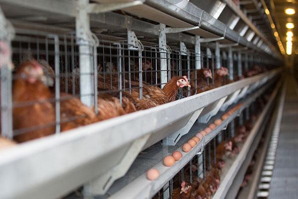 Вчені вивели ГМО-курей, які несуть яйця з ліками