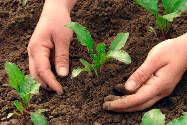 Проріджування рослин