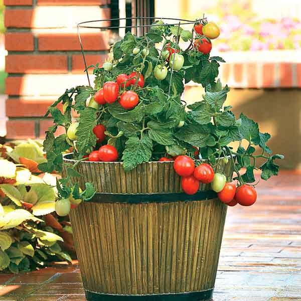 томат-вередун