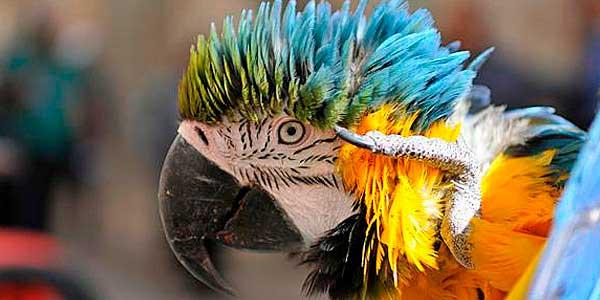 Папуга скандаліст