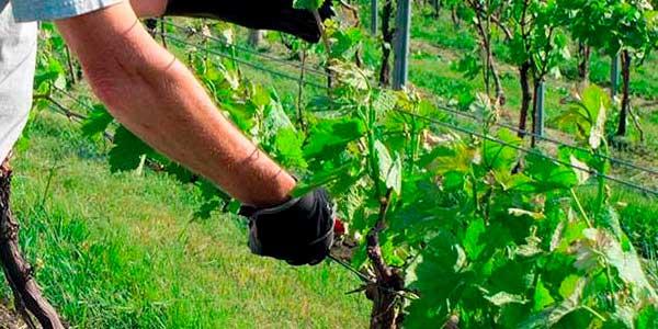 Пасинкування винограду