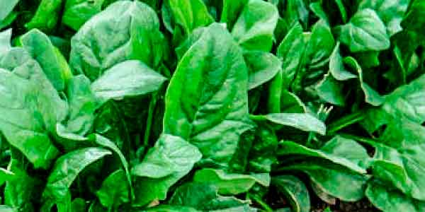 Свіжий шпинат
