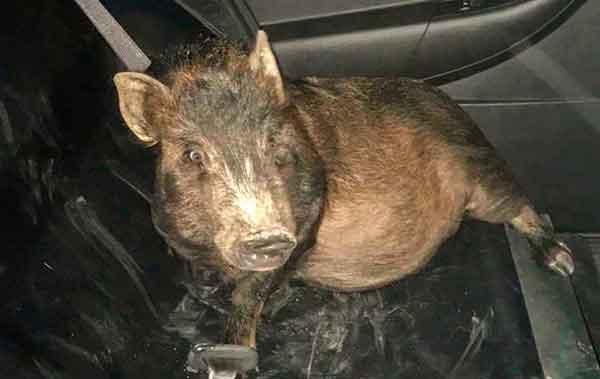 Свиня переслідувач