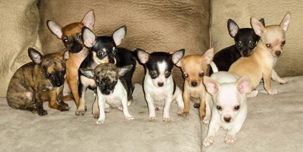 собаки чихуахуа