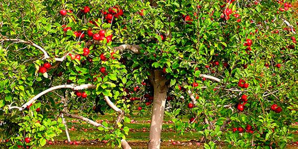 дерева плодоносять