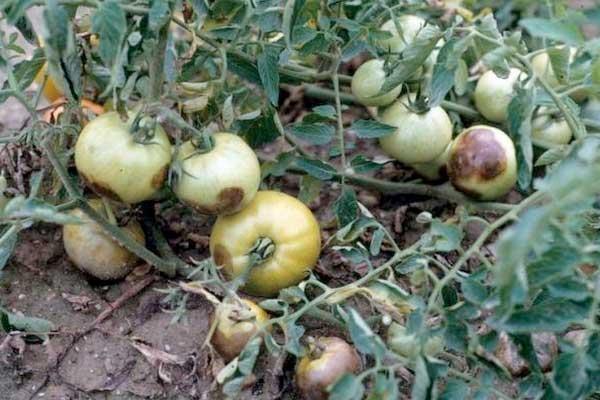фітофтора у помідорів