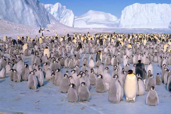 колонія пінгвінів