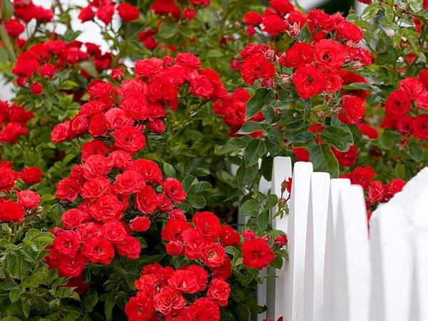 Як захистити троянди