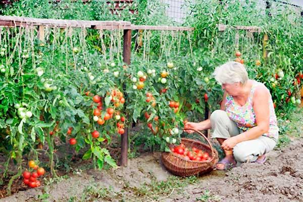 збір овочів