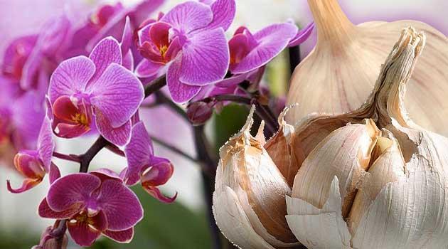 орхідея часник