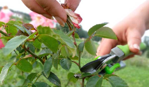 обрізування троянд