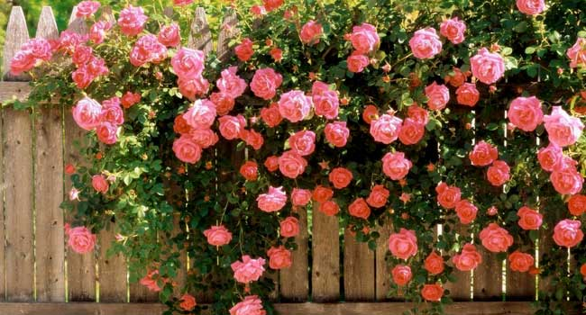 пишні квіти