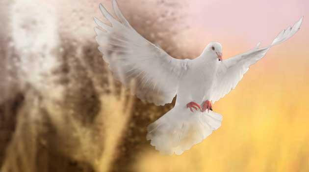 Біла голубка
