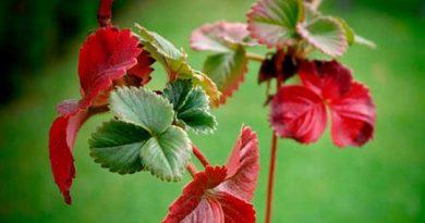 Чому у суниці червоніє листя