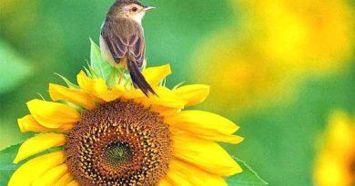соняшникове насіння