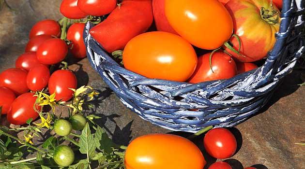 Як збільшити урожай помідорів