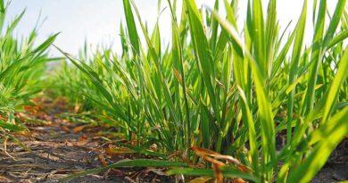 Жито як сидерат