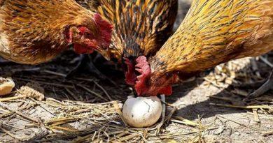 Чому кури клюють яйця