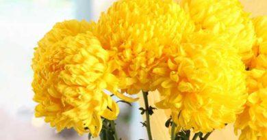 Догляд за кулястою хризантемою