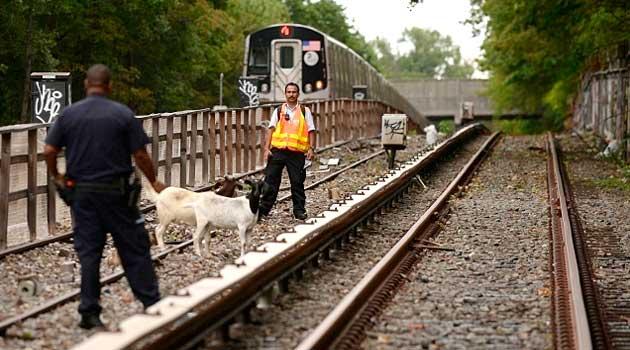 Кози в нью-йоркському метро