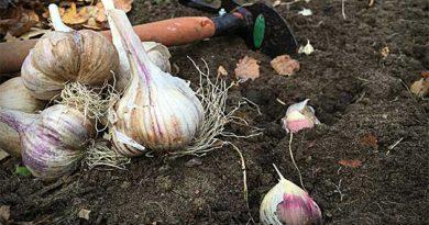 Підготовка ґрунту під часник