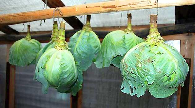 як зберігати капусту