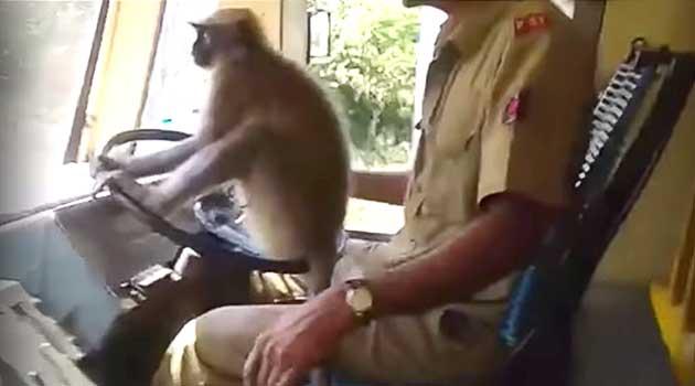 Мавпа позбавила роботи водія