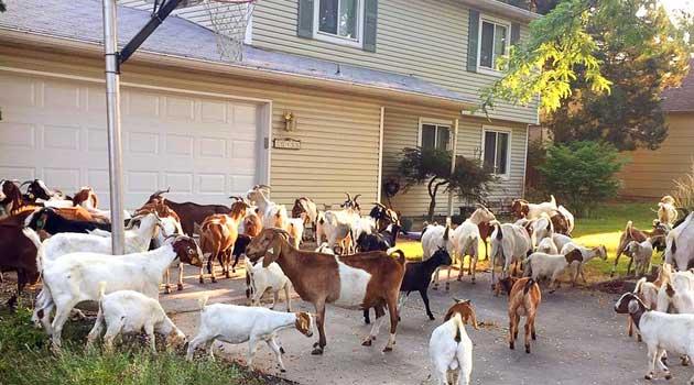 Місто заполонили кози