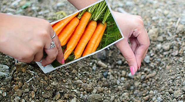 Посадка моркви на зиму