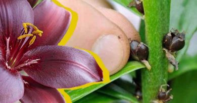 Розмноження лілій бульбочками