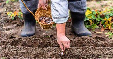 Як садити часник восени