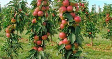 Колоноподібні яблуні