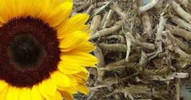Лікувальні властивості коріннясоняшника