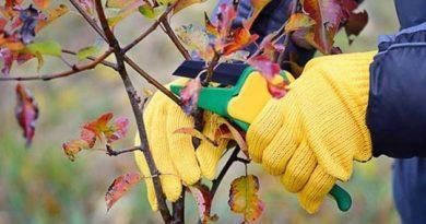 Обрізка вишні та черешні восени