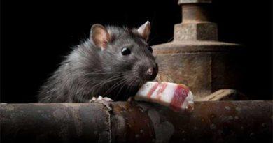 Сало проти мишей
