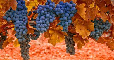 Виноградник у листопаді
