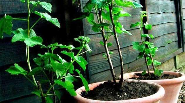 Як відсадки переводити на власні корені