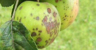 Дефіцит кальцію в яблуні