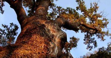 Найстаріші дерева в Україні