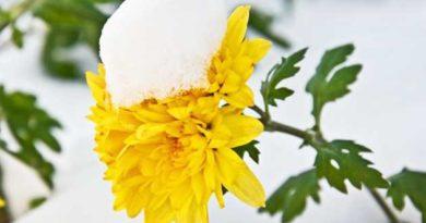 Поливайте хризантеми снігом