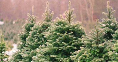 Скільки цьогоріч коштуватимуть новорічні ялинки