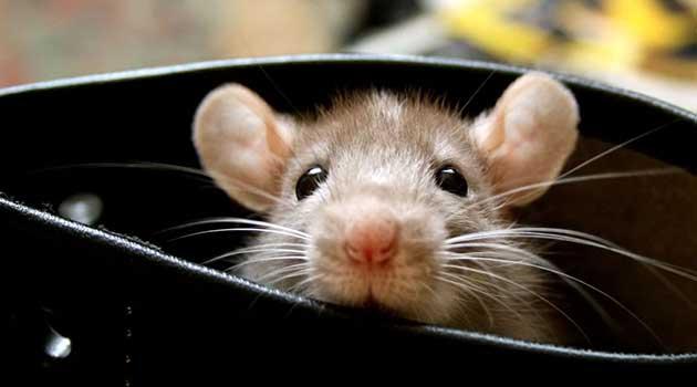Таке сало мишам не смакує