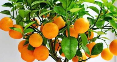 Апельсини з вазона