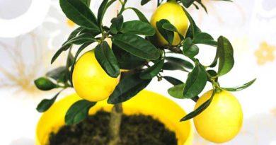 Чому лимон скидає листя