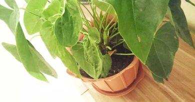 Чому сохнуть кінчики листя у кімнатних рослин
