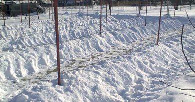 захист виноградної лози взимку