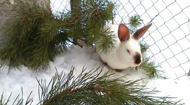 Обмороження у кролів