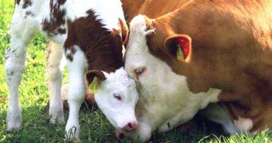 Період тільності у корів