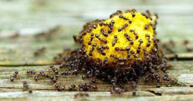 Як боротися з домашніми мурашками